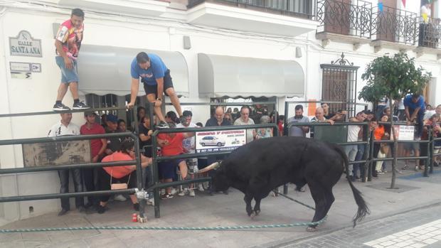 Un toro de cuerda embistiendo, ayer en Carcabuey