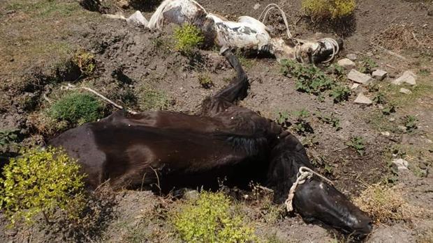 Dos de los caballos muertos localizados en una finca de Jimena de la Frontera