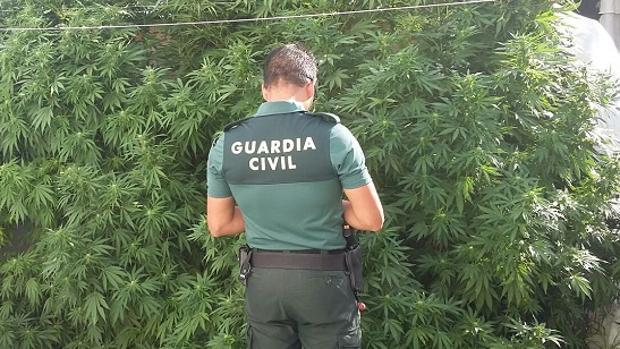 Una gente de la Guradia Civil en una imagen de archivo ante la marihuana