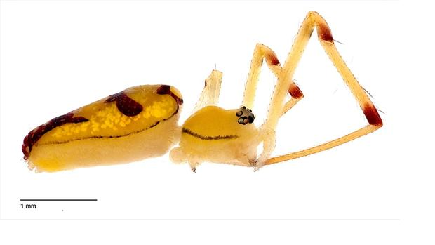 Una araña Bernie Sanders hembra (Spintharus berniesandersi), en una vista lateral
