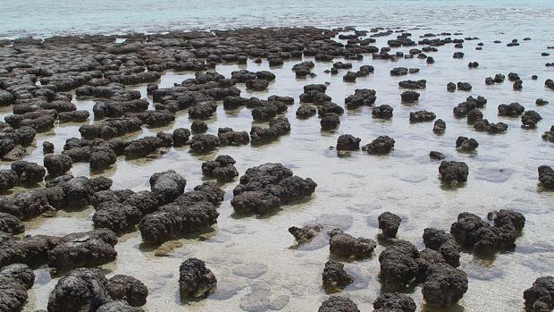 Estromatolitos situados en la costa de Australia. Los fósiles de este tipo de rocas, creadas por microbios, hoy permiten observar a seres vivos de miles de millones de años de antigüedad