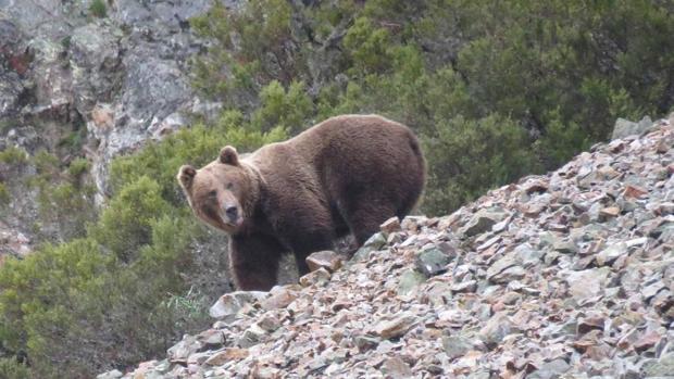Ejemplar de macho adulto de oso pardo cantábrico