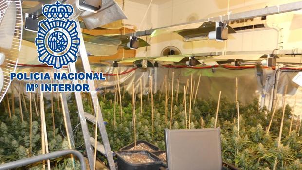 Plantación de marihuana desmantelada por la Policía Nacional en Sanlúcar.