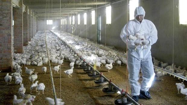 Un veterinario coge unospollos para tomarles unas muestras de sangre en una granja de Torrentede Cinca (Huesca)