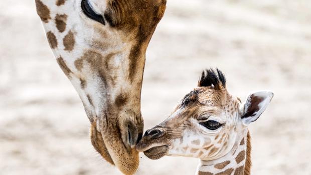 Una jirafa recién nacida junto a su madre